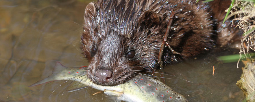 Mink Pest Control Norfolk