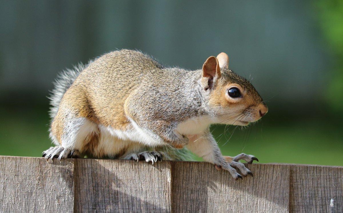 Autumn Wildlife: Grey Squirrels