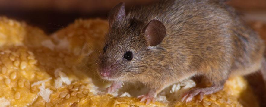 Pest Control - Mice