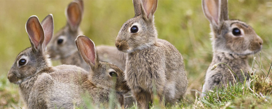 Rabbit Wildlife Control Norfolk
