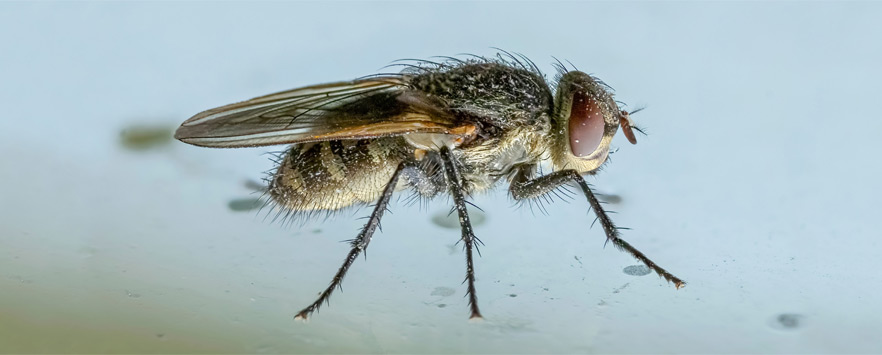 Autumn Wildlife: Cluster Flies