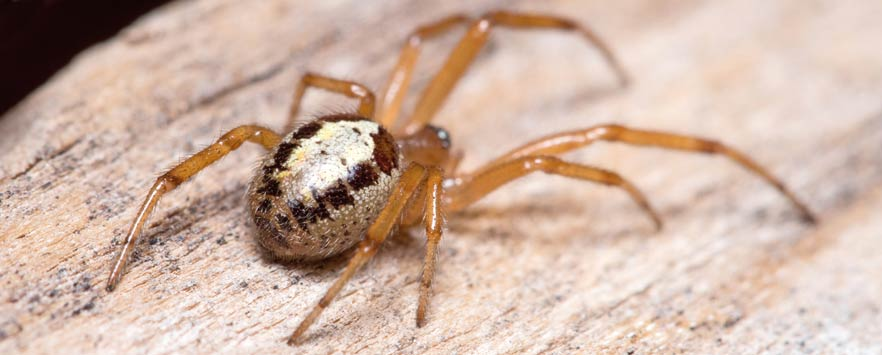 False Widow Spider Control